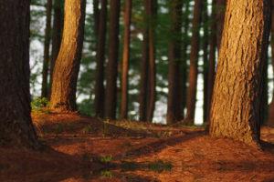 Tourisme landes forêt de pins des landes